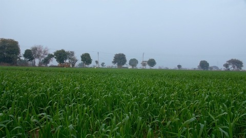 Rural landscape view of a beautiful grassy wheat field during daytime in India