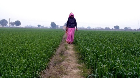 A long shot of an old Indian woman walking in a green agricultural field