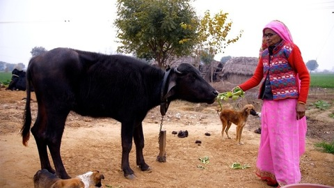 Mid shot of an old lady of a village - feeding green leaves to her buffalo