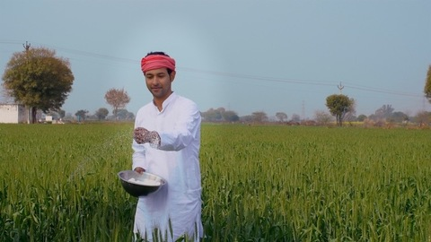 An Indian farmer in a village putting harmful pesticides in his wheat field