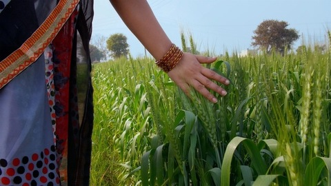 Backview shot of an Indian woman in wheat crop field - Farmland in village