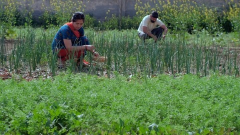 Male and female Indian village laborers doing farming work in their field during the day