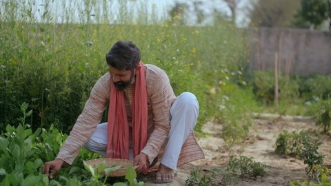 Indian farmer plucking green leafy vegetables from his agricultural field