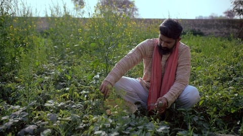 A bearded rural villager taking out underground vegetables from his field