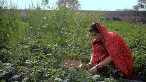 A female farm laborer picking potatoes growing underground from her field