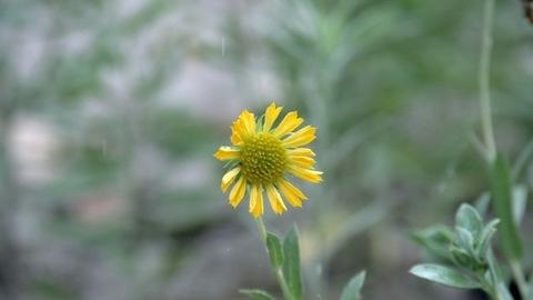 Few drops of water / rainwater falling on a beautiful yellow chamomile flower