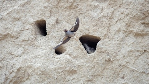 Common Indian bird myna flying out of the nest made inside a limestone cave wall
