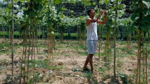 A young man in casual clothes plucking healthy ridge gourd / turai vegetable from farm