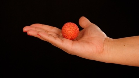 Beautiful hand of a woman holding an exotic Litchi fruit - a delicious dessert