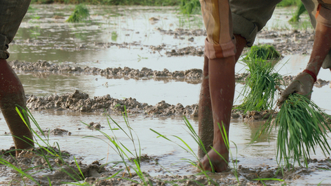 Close shot of a farmer planting paddy sapling in the rice field