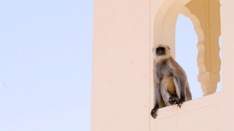 Closeup of a gray langur also known as Hanuman langurs sitting on a fort's wall