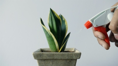 Slow motion shot of spraying water to the plant with spray bottle