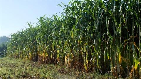 A pan shot of a green field of sorghum / jowar in Indian village