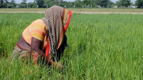 Indian female farmer working in the rice field in a village