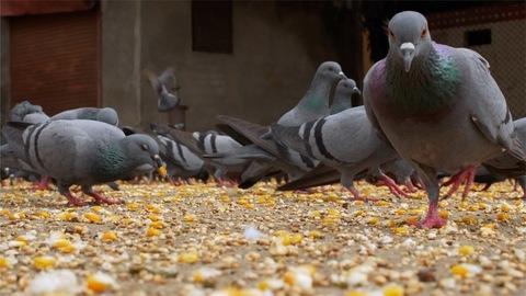 A flock of pigeons eating grains - Indian Street Scene