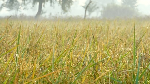 Beautiful golden ears of rice ready for harvesting in India - agriculture concept