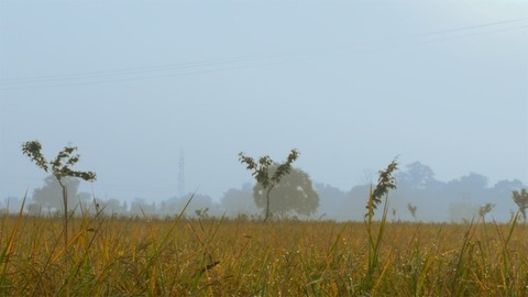 Beautiful landscape view of yellow-green paddy field with the foggy sky in the background