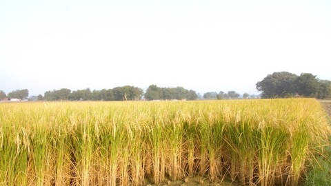 Pan shot of yellow-green rice ears ready for harvesting - organic farming concept