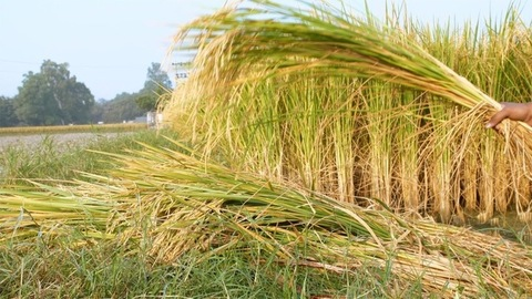 Indian farmer making stacks of harvested rice at Delhi/NCR, India - manual farming concept in the village
