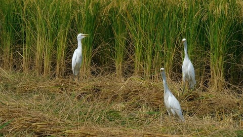 White egrets wandering in the agricultural land of rice plants during daytime in India