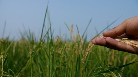 Hands of an Indian farmer examining fresh rice plant in the organic paddy field