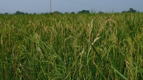Still shot of a beautiful agricultural field of rice during daytime in an Indian farm