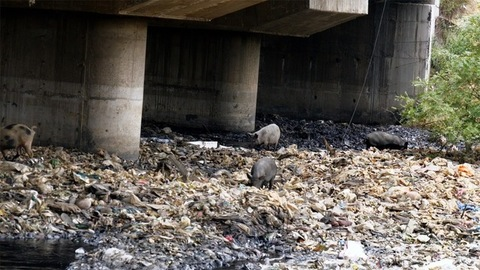 Still shot of a family of dirty pigs looking for food in an unhygienic garbage dump