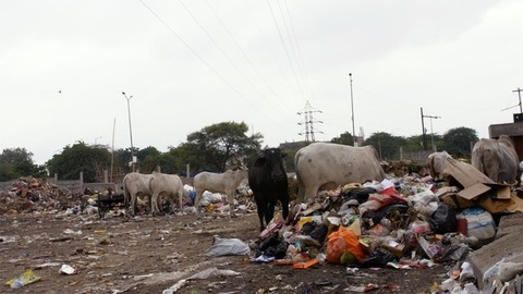 Indian cows looking for edibles in a garbage dump or landfill - Animal eating plastic