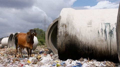 Indian cow eating plastic and trash at a local landfill site in India